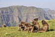 Gelada baboons grooming in Simien mountains