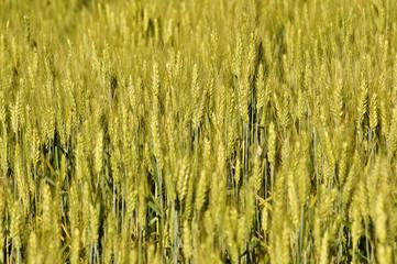 Teff field (harvest)