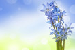 scilla  - blue spring flowers on a bokeh colors background