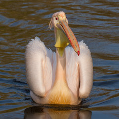 A swimming pelican