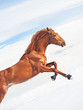 amazing sorrel horse in jump at blue  sky background