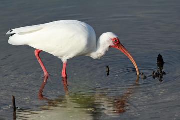 Whit Ibis Foraging in a Pond - Sanibel Island Florida