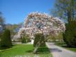 magnolia dans le parc