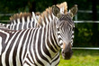 Zebra in the wildlife park