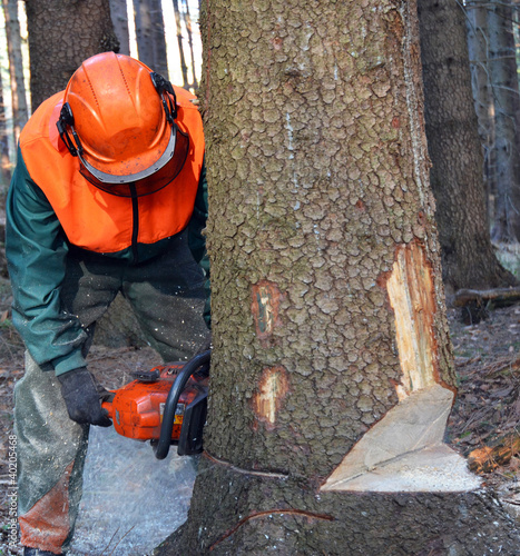 Lumberjack cutting down tree