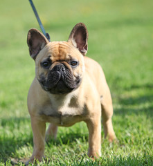 French Bulldog  standing on the grass