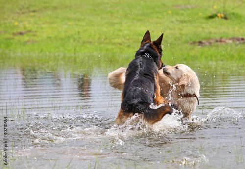 Two dogs playing in the water