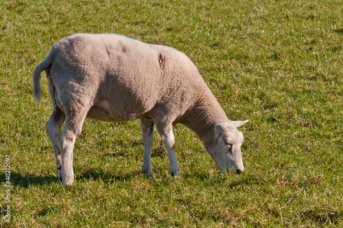 Portrait of a sheep grazing in the meadow