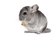 Chinchilla. Young Chinchilla regales dried fruit.
