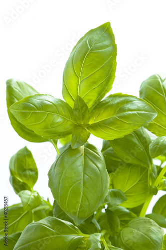 growing basil leaves against white