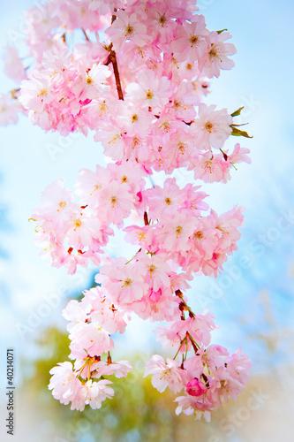 wiosenna-sakura
