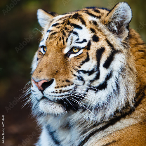Closeup of a Siberian tiger also know as Amur tiger (Panthera ti