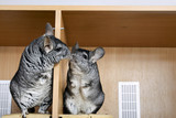 A pair of chinchillas