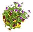 pansy in flowerpot