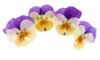 pansy flowers isolated
