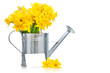 daffodils in metal watering can on white background