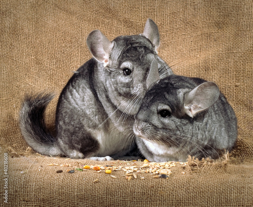 Chinchilla against an old sacking.