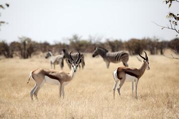 springbok whit zebra on background