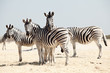 group of zebra