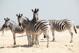 group of zebra - 40220255