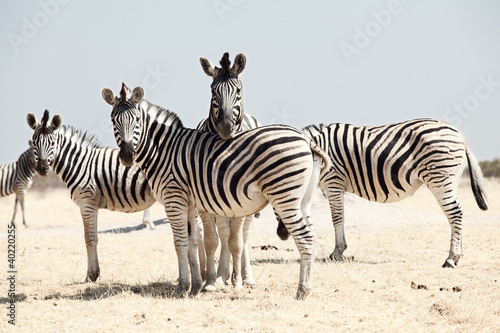 grupa-zebry