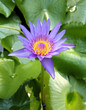The blooming blue lotus in the natural pond