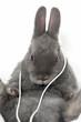 Kaninchen hört Musik