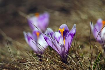 Violet crocus spring flowers in the meadow