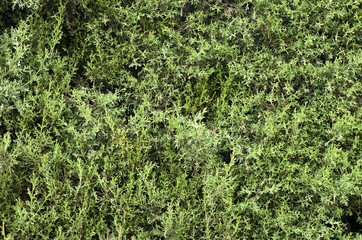 Fondo ciprés, verde, árbol