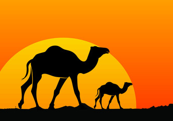 Camel and sunset