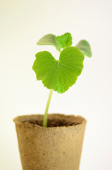 Pflanze 29a