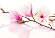 Fleurs roses de printemps avec la réflexion