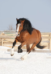 draft horse runs free