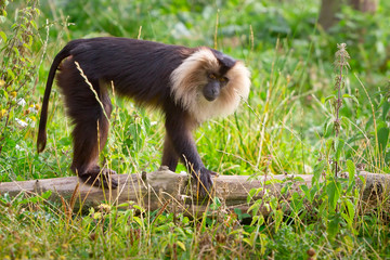 Lion tailed macaque monkey in wildlife park