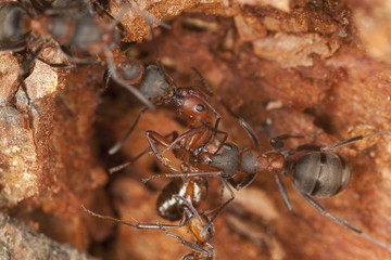 Southern wood ants, etreme close-up