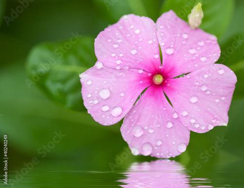 pervenche de madagascar, catharanthus roseus