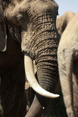 Dominant bull elephant at Addo Park