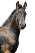 Friesian foal on a white background