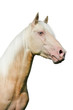 Cremello (creme pureblood horse) portrait