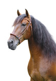 A portrait of an andalusian stallion on a white background