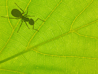 green leaf with ant shadow