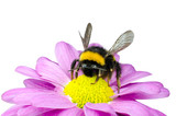 Bumblebee pollinating on Pink Daisy Flower poster