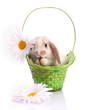 Little rabbit in green basket
