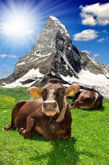 Cow lying in the meadow.In the background Matterhorn-Swiss Alps