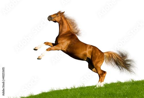Chestnut bawarskie galopuje koń na wzgórzu