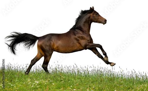 Bay koń biegnie galopem w polu