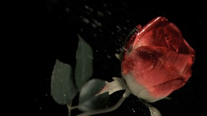 Rose being watered in super slow motion