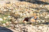 Mandarin Duck Drake (Aix Galericulata) poster
