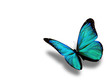 Turquoise Butterfly, Isolated ...
