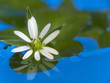 White flower in blue water